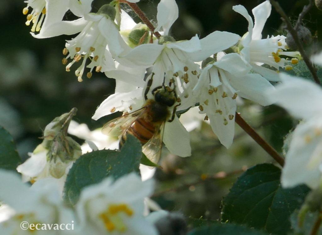 ape sul fiore che succhia il nettare