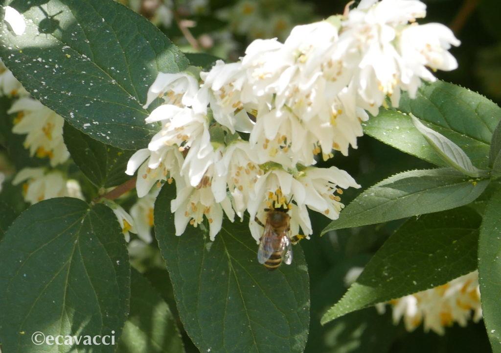 ape sul fiore