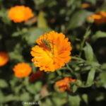 cavalletta su un fiore