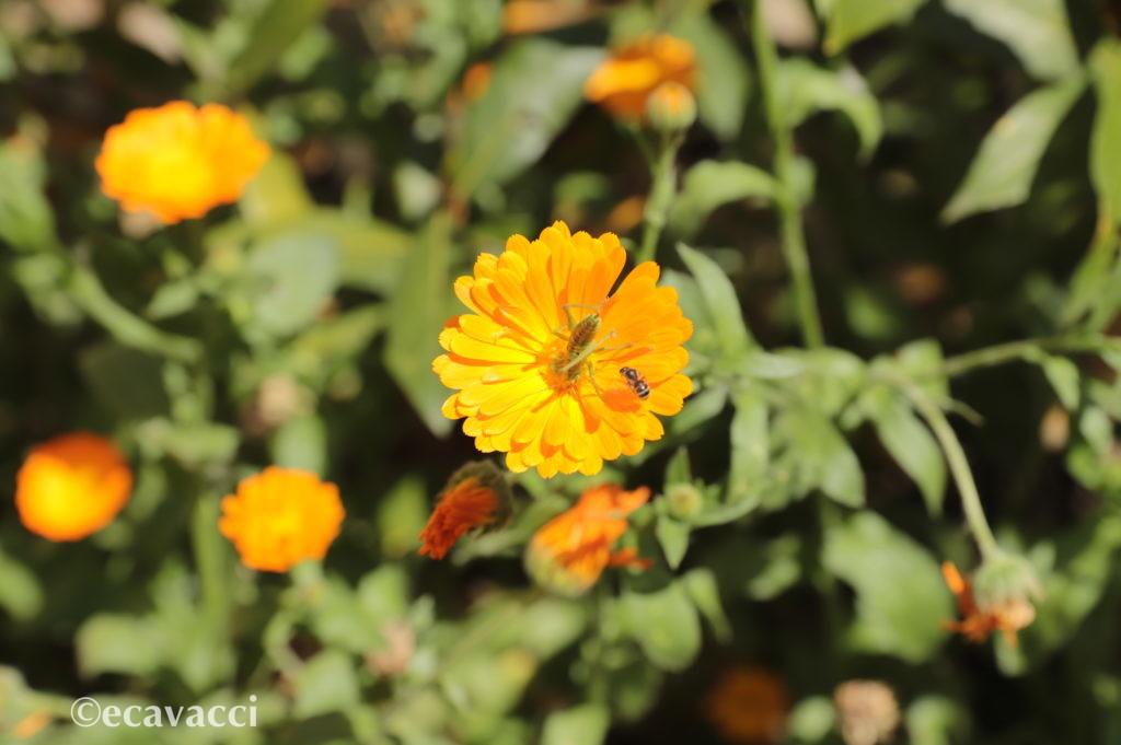 cavalletta ed ape su un fiore