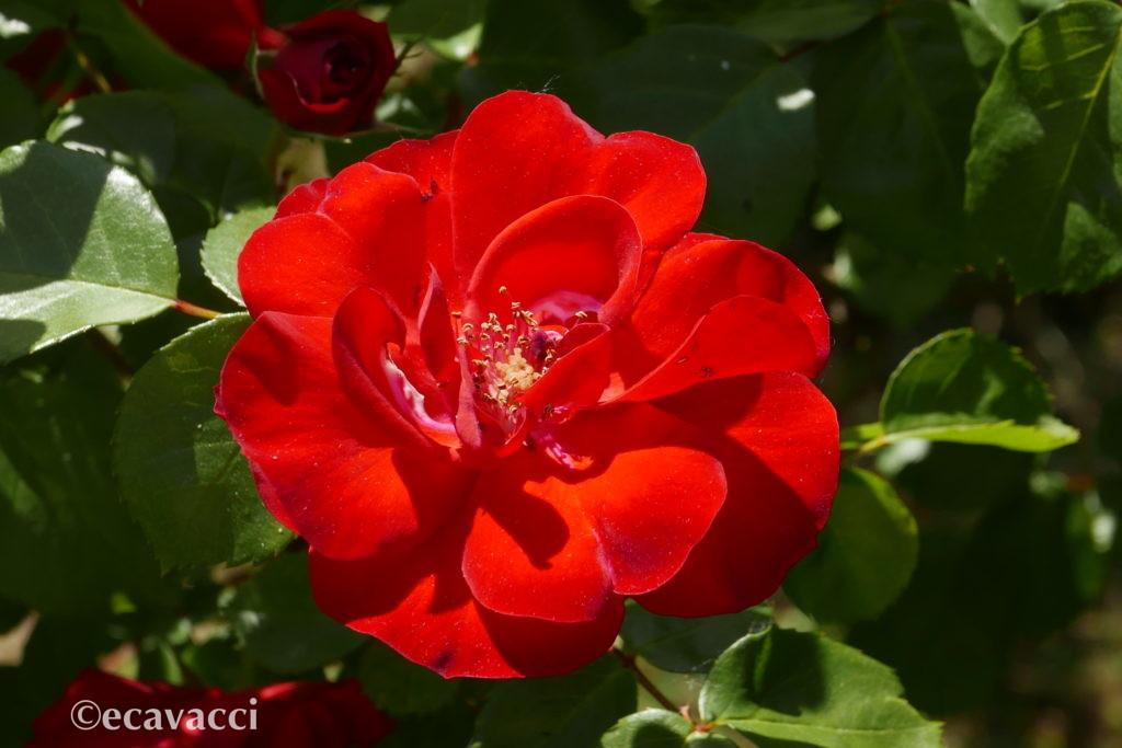 rosa canina rossa
