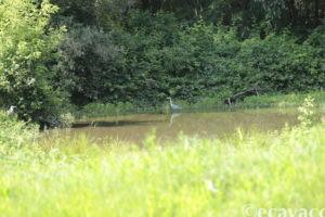 airone cenerino nell'oasi smeraldino
