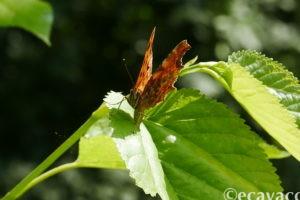farfalla vanessa