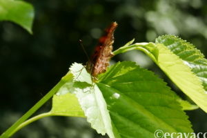 farfalla vanessa all'oasi smeraldino