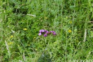 garofani viola all'oasi smeraldino