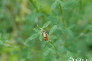 insetto arancione