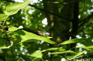 bellissima libellula damigella